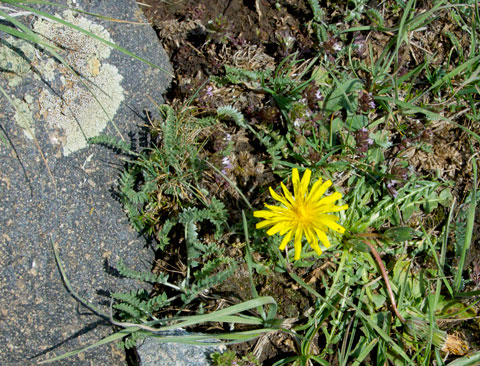 Mountain dandelion with lichen.