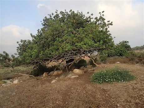 The carob tree is at home in Lower Galilee.