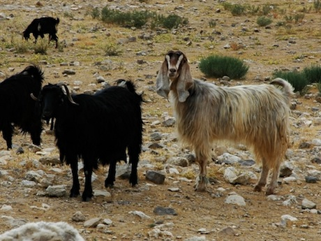 Ammonite goats musing over the site of Tell Jalul, Jordan.