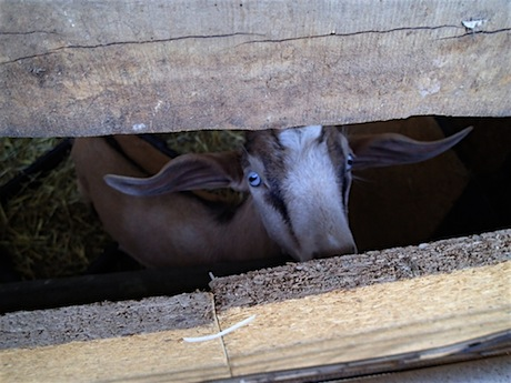 """An eco-friendly organic (but brownish colored) """"Green Goat."""""""