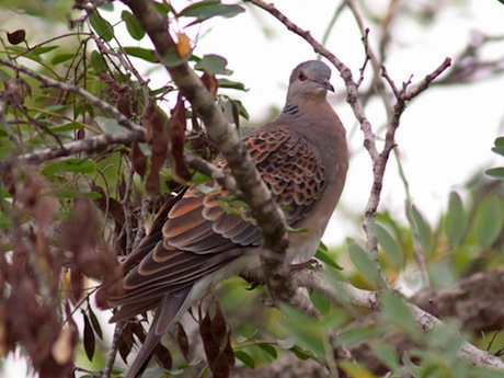 The Oriental Turtle Dove (Streptopelia orientalis). Image source .