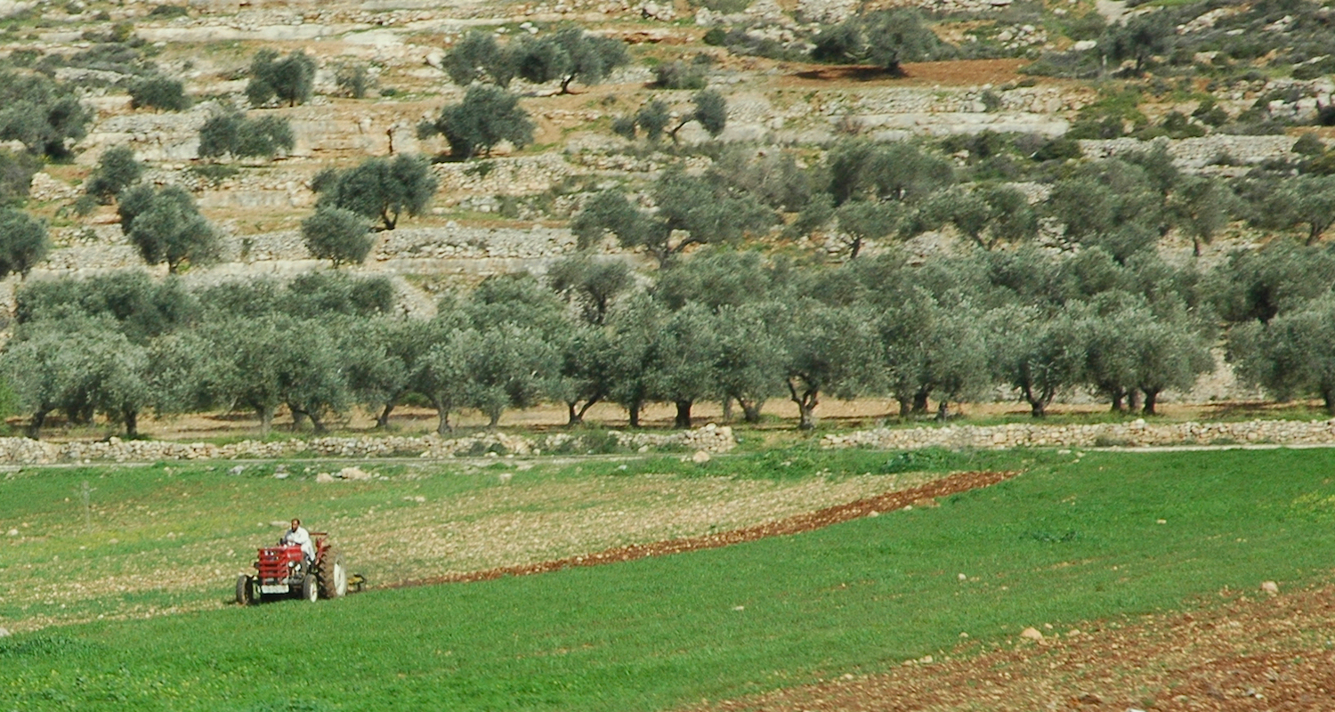 Plowing in the rich terra-rossa soil of central Palestine (near Al Lubban ash Sharqiya). Note the olive orchard in the background.