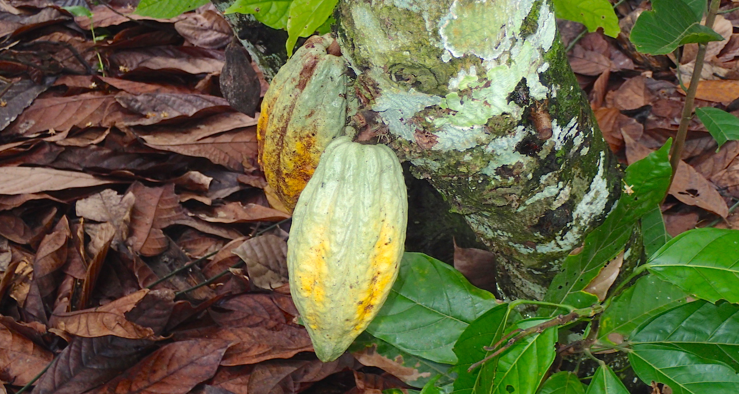 The tree has several large pods affixed directly to its trunk. They look like fat pointy cucumbers, six to eight inches long.