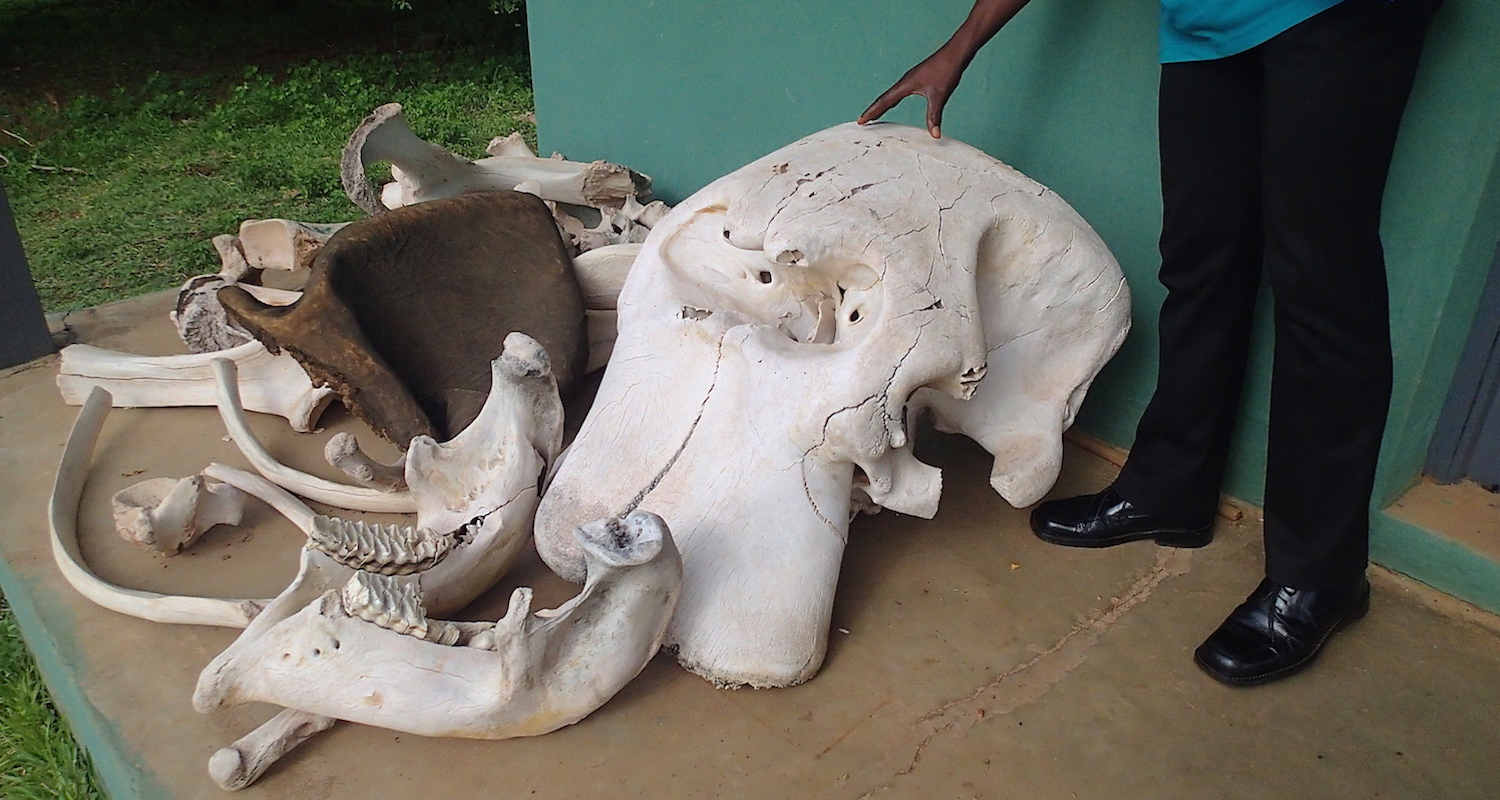 """Isaac and elephant bones on display at the Visitor's Center. Note the nasal cavity in the center of the """"forehead."""""""