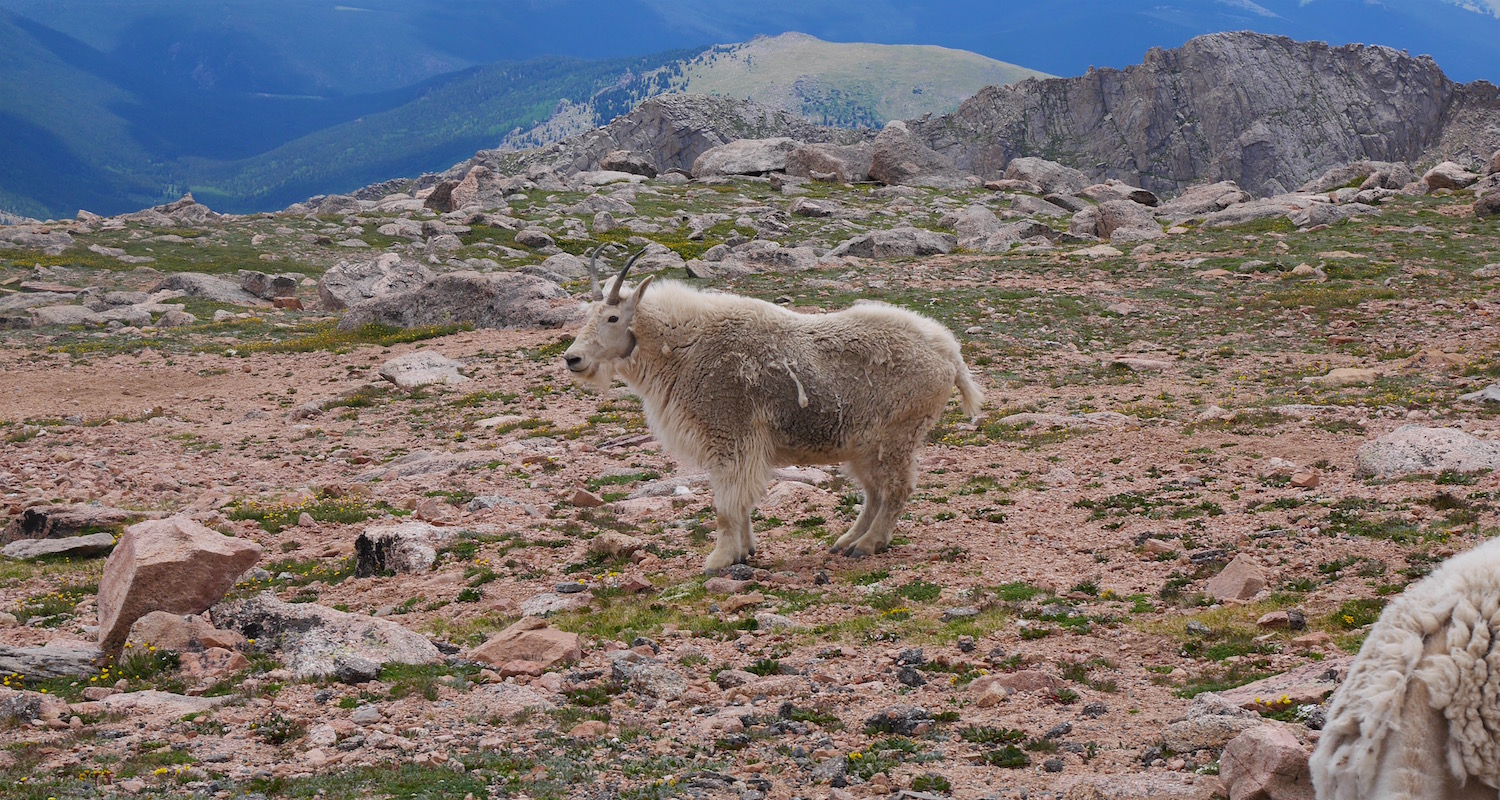 A big buck poses for us near the summit of Mt Evans..