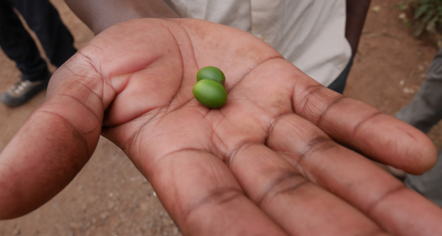 Here are some coffee beans picked from the bush.