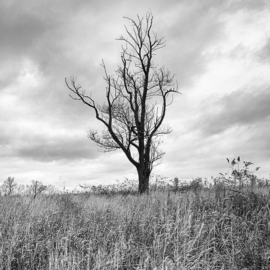 Shaker Village Dead Tree Centered