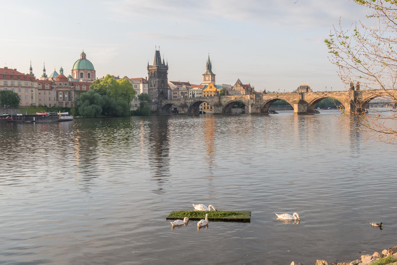 Vltava swans