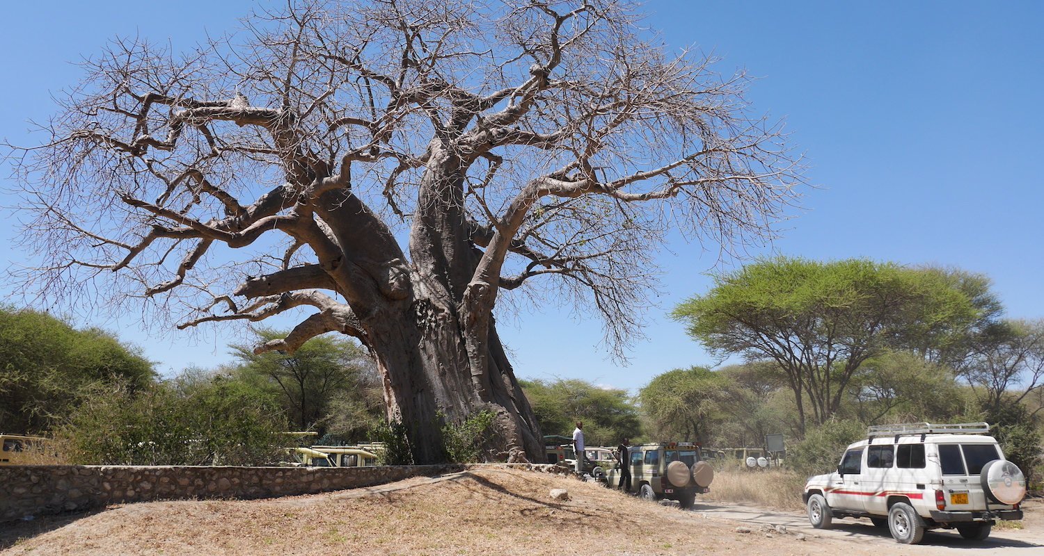 Legend has it that the baobab tree was planted upside down because its limbs look like roots. The swollen trunk of the baobab can hold up to 120,000 liters of water.