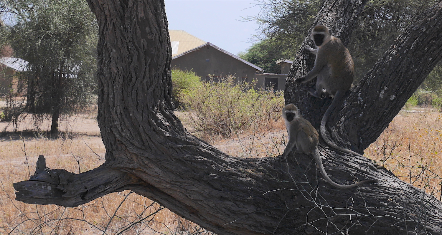 Vervets scampered in the trees around the Ranger Station.