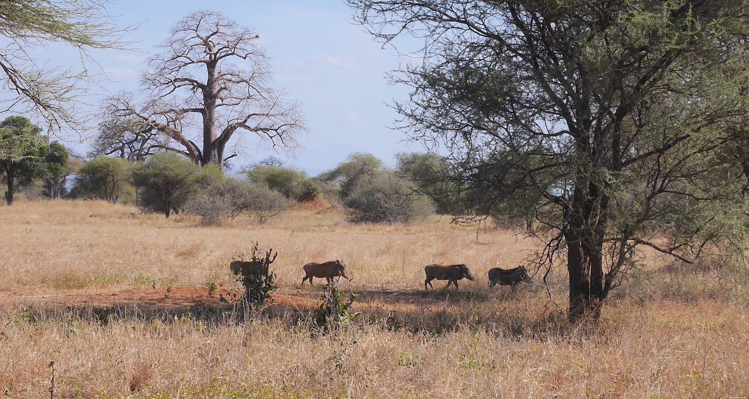 The warthogs were skittish. We couldn't get close and my lens was not big enough to capture their ugly faces.