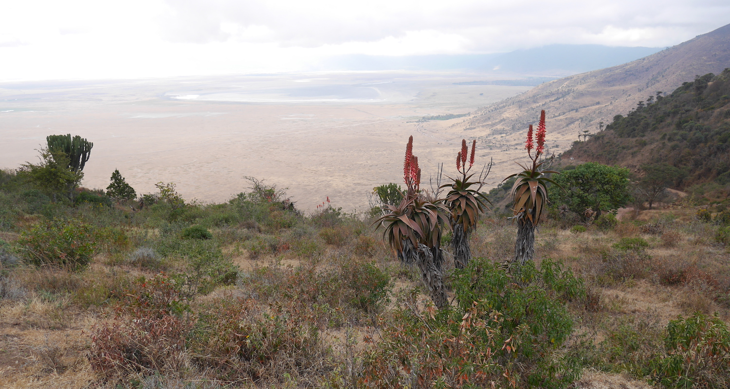 View to the crater floor and Lake Magadi. Note the flowering African aloes (Aloe ferox, I believe) in the foreground.