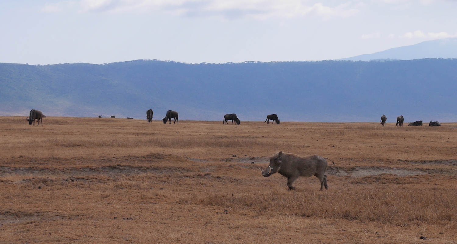 A warthog (Phacochoerus aethiopicus) trots past our vehicle. According to Oats and Rees (2012:1) the presence of the warthog and the buffalo (Syncerus caffer)on the crater floor are recent developments. The decline of the wildebeest (Connochaetes taurinus)may be a result of disease and vegetation change.The steep decline of the presence of black rhinoceros (Diceros bicornis) is a result of poaching. Finally, the lion population of the crater has suffered due to overhunting and genetic isolation.