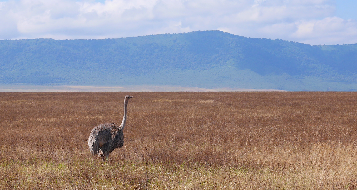 A female ostrich crossed our path.