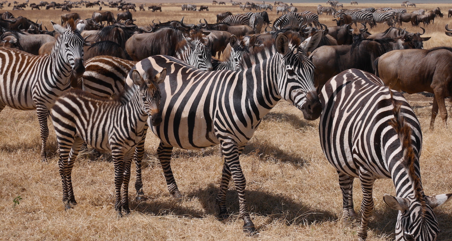 Zebras and wildebeests were quite conditioned to four-wheel drive vehicles. We nosed our way through middle of the herd.