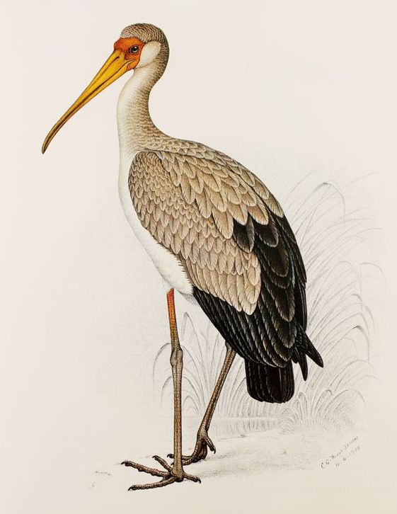 The Yellow-billed Stork offers a fetching pose. Illustration by C.G. Finch Davies and accessed  here on 4/11/2018.