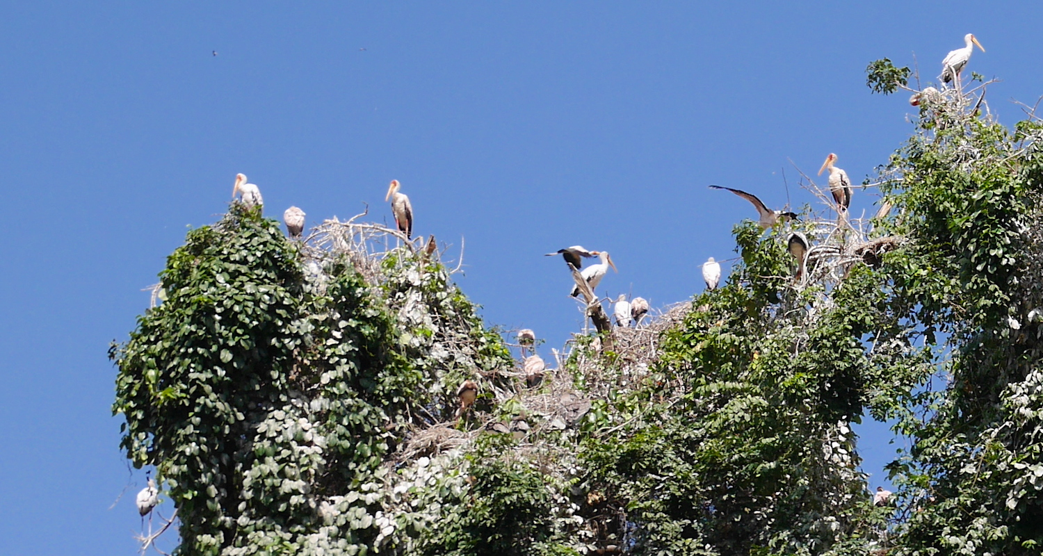 The head of every tree near the Mosquito River was bent by roosting storks.