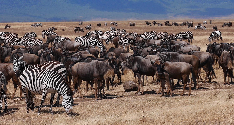 Herds of zebra and wildebeest in Ngorongoro Crater.