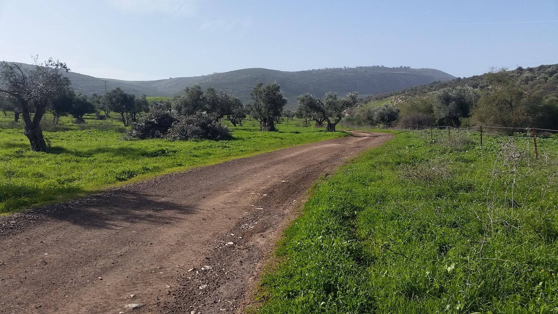 Olive orchard 1.jpg