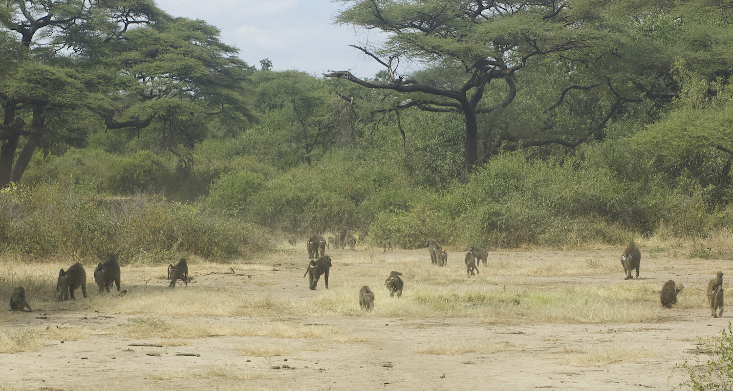 A troop of baboons passed by. They are a little frightening.