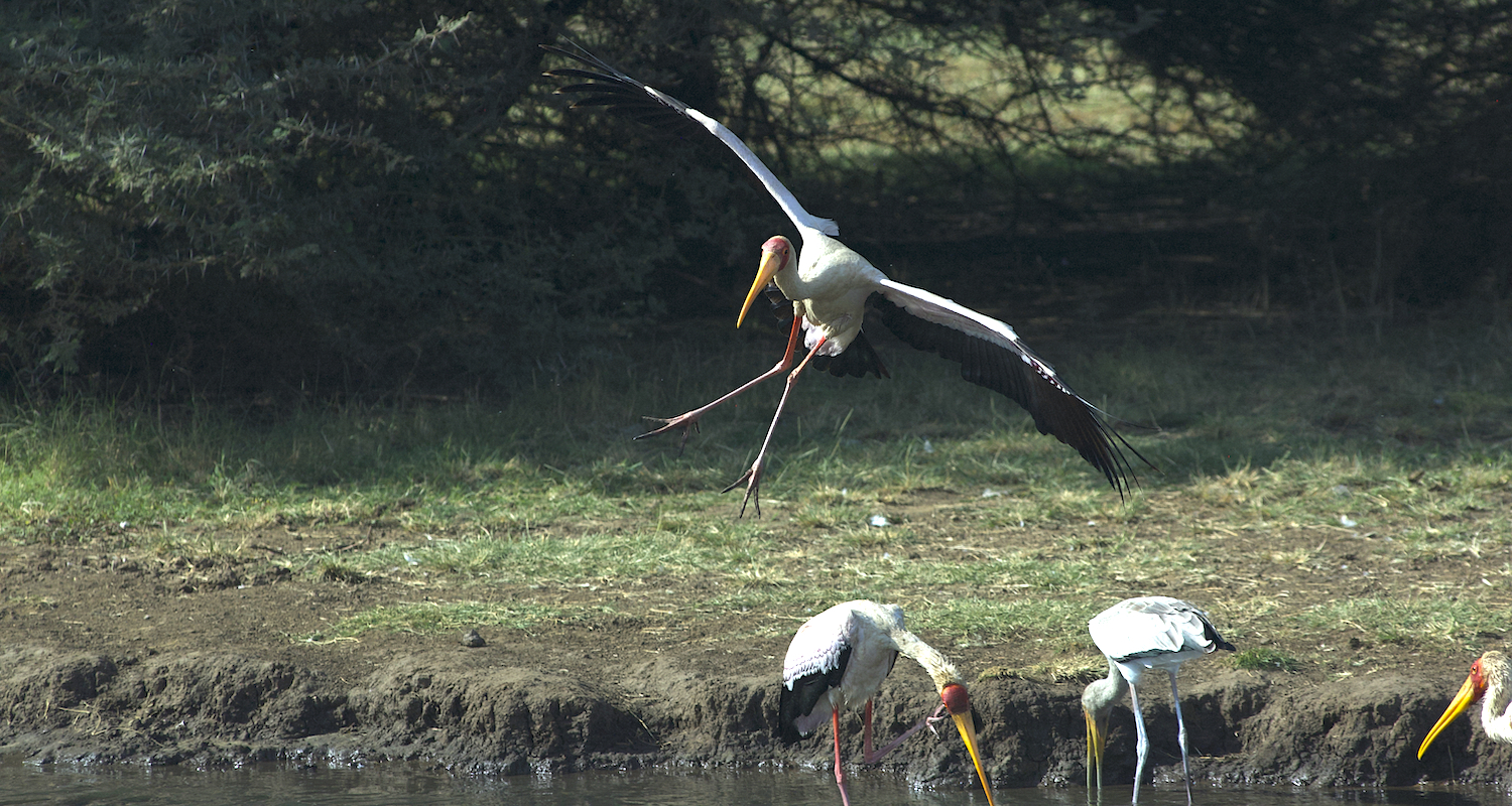 A yellow-billed stork comes in for a landing. His gear is slightly askew.