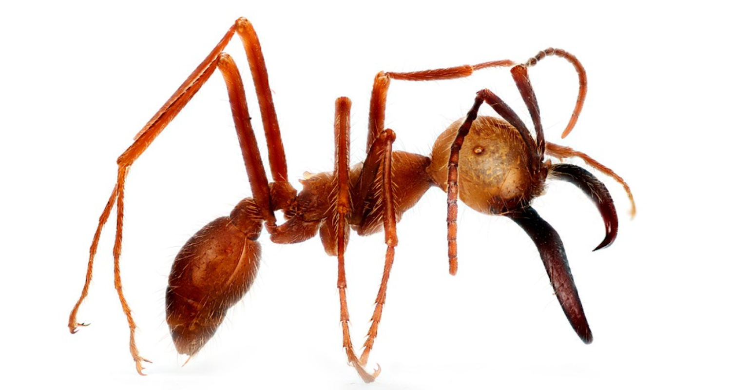 Eciton burchellii. Note the large scissor-like mandible. The soldier ant can grow up to 1/2-inch in length. Image from    https://wellcomecollection.org/works/z9ujqwum/items?sierraId=    (accessed 3 Aug 2019).
