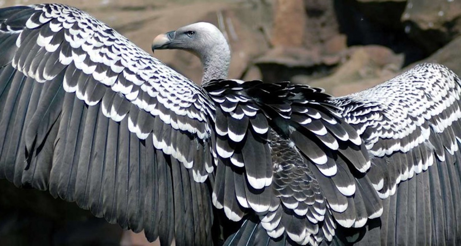 Rüppell's griffon vulture. Image from    https://kidszoo.org/our-animals/ruppells-griffon-vulture/    (accessed 10 Aug 2019).