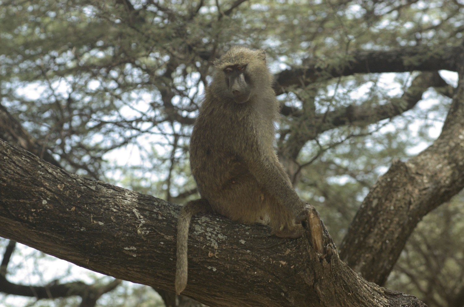 baboon in a tree.jpg