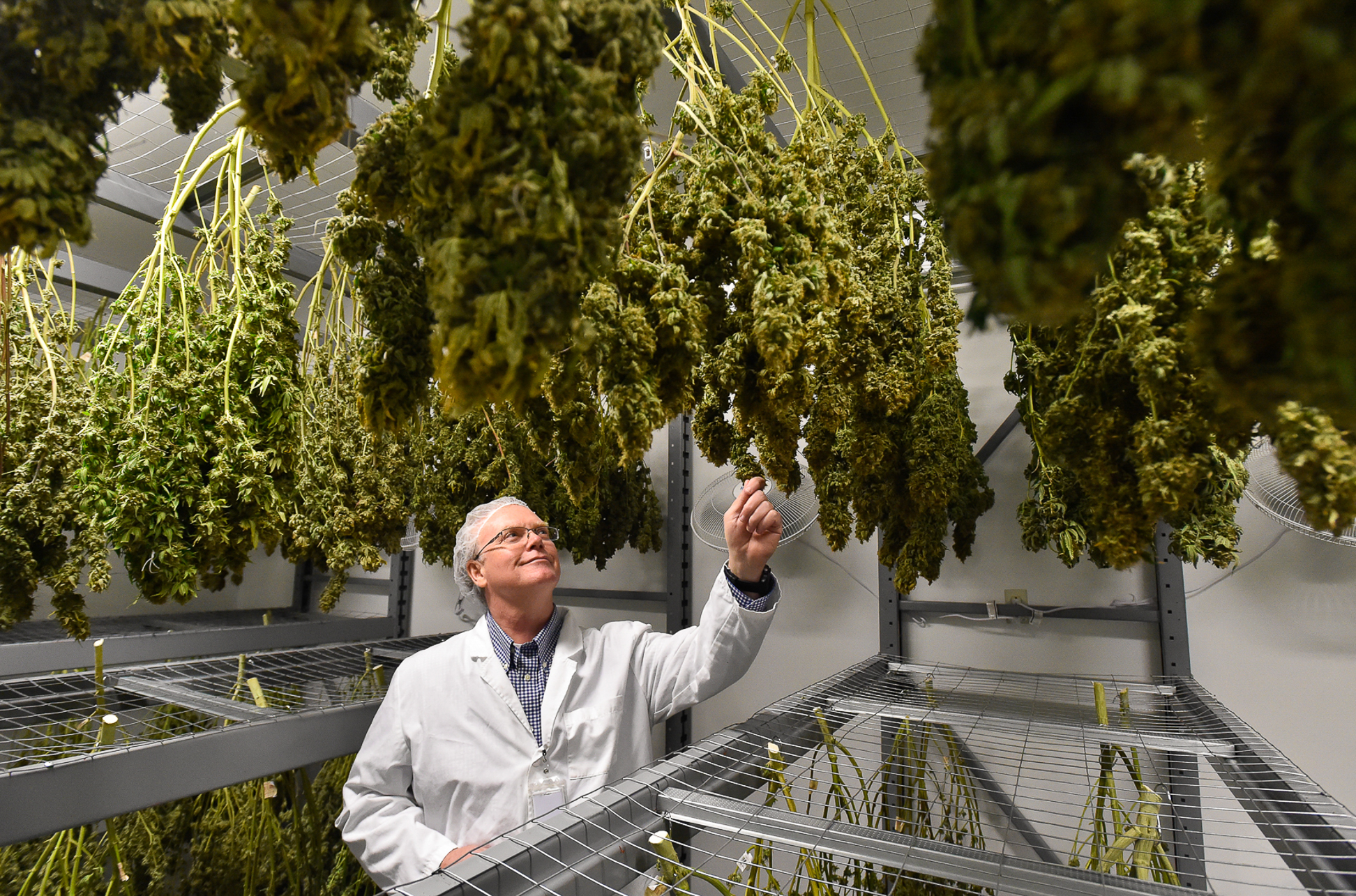 Nathaniel Averill, executive director and co-owner, views some of the drying cannabis inside their drying room at Healthy Pharms medical marijuana facility in Georgetown, Friday, March 24, 2017. [Wicked Local Staff Photo / David Sokol]