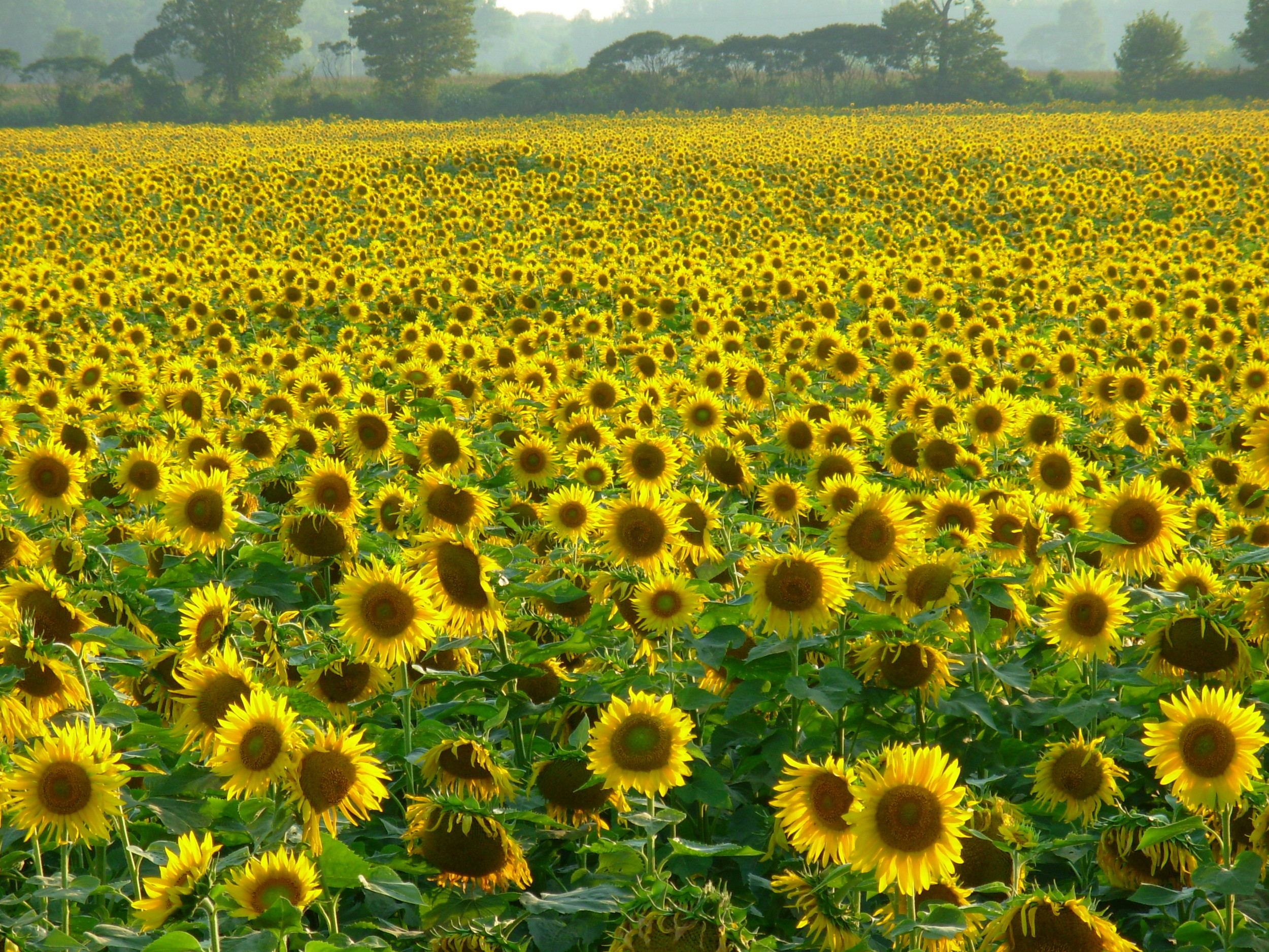 sunflowers.jpeg.JPG