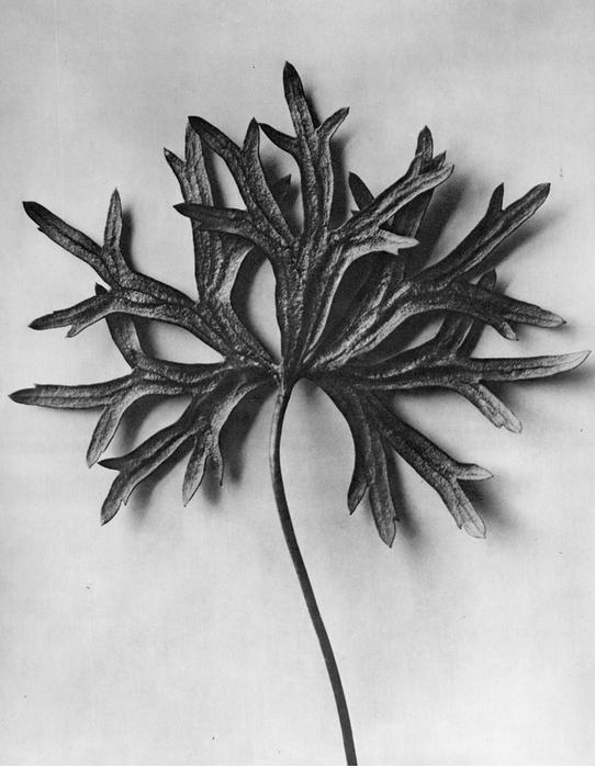 29 - Aconitum Anthora