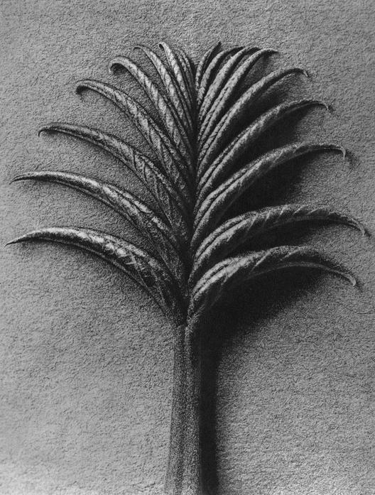 75 - Pterocarya Fraxinifolia, Caucasian Wingnut, Young Leaf  - Photogravure