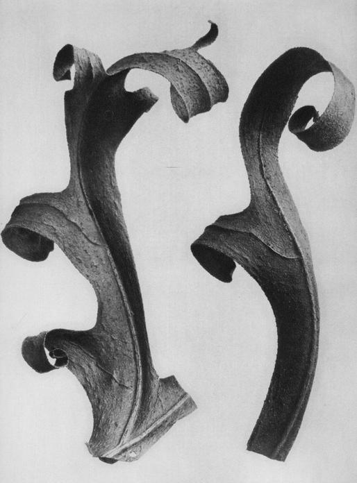 109 - Silphium Laciniatum - Photogravure
