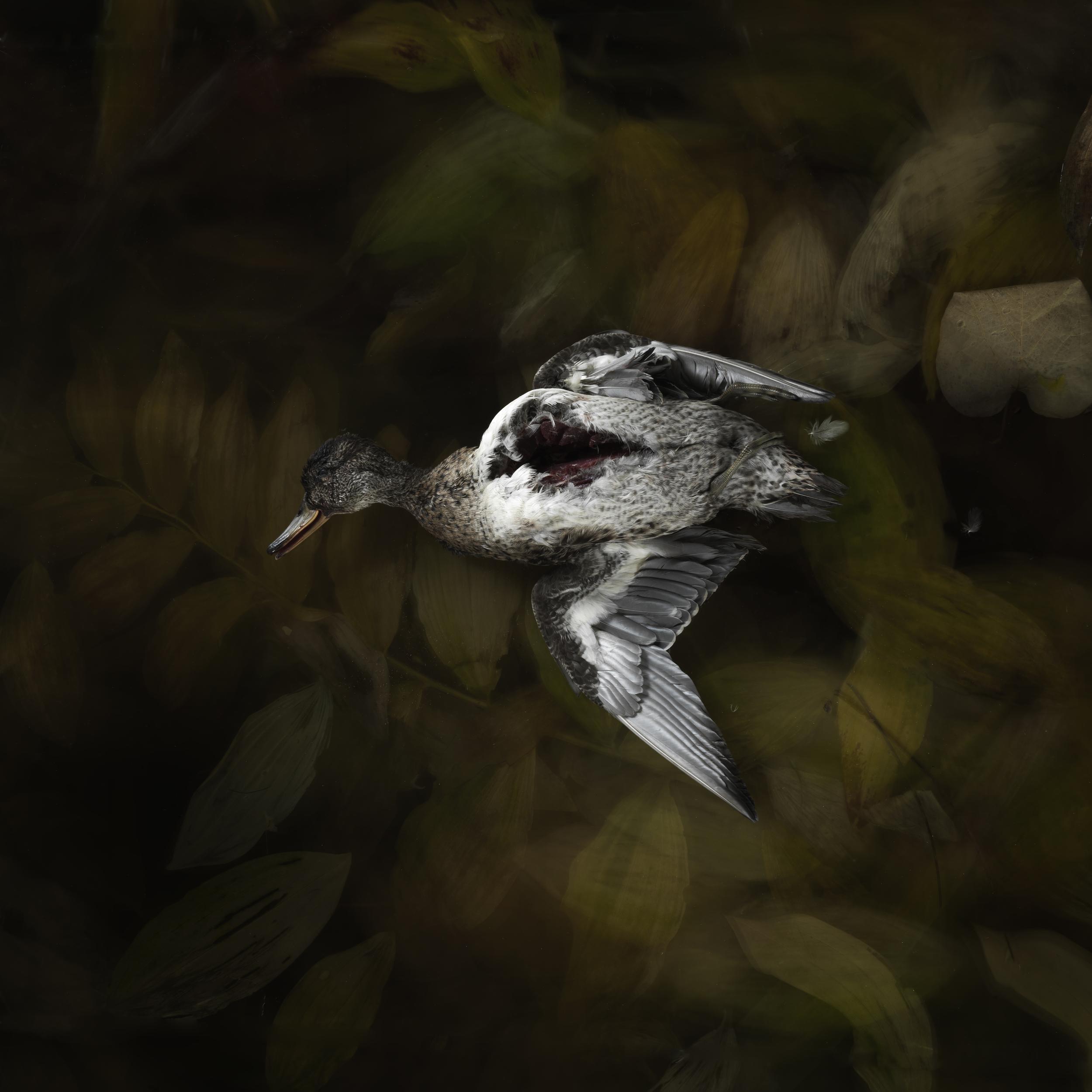 Duck #6
