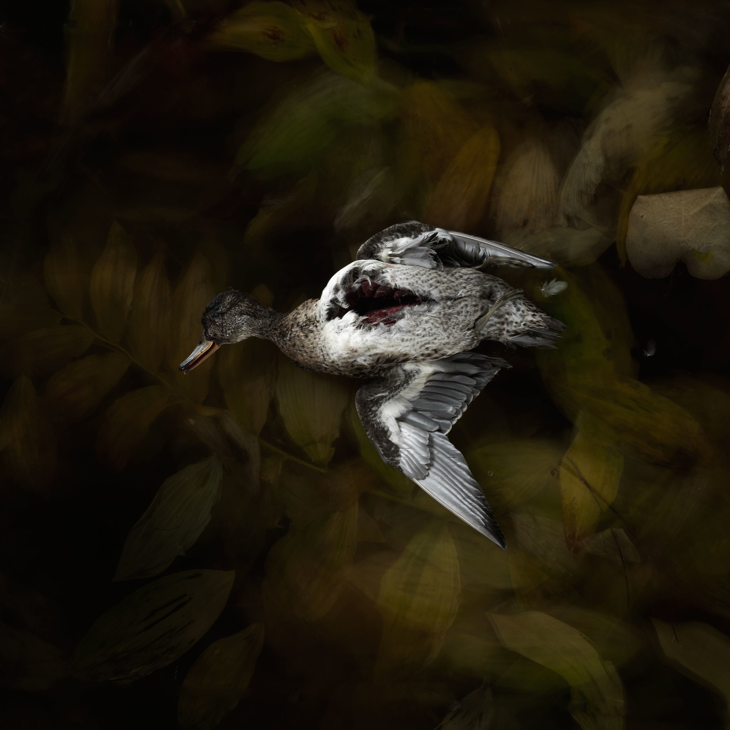 The Duck no1.jpg