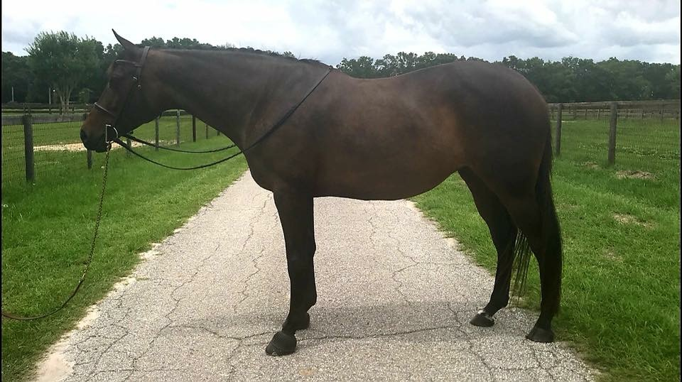 Smooth Air - 2009 15.3h Trakhener Mare. Successfully shown in the Training Hunters. Eligible Green. Perfect Child/Adult horse hunter/jumper/eq.