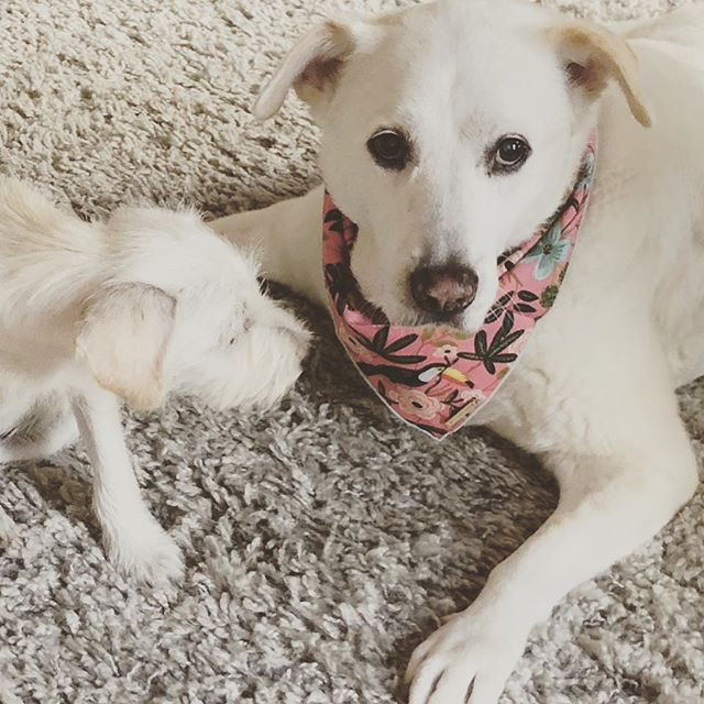 Dali Jean modeling our beautiful new line of dog bandanas by @thefoggydog #dogbandana #petapparel #rescuedog #adoptdontshop #saltwatergypsies #artandgiftmarket #thefoggydog