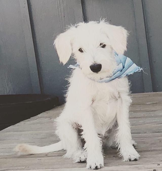 Our wiggliest addition. Meet Chowder #rescuedogsofinstagram #adoptdontshop #schnauzer #schnauzersofinstagram #takeyourdogtoworkday
