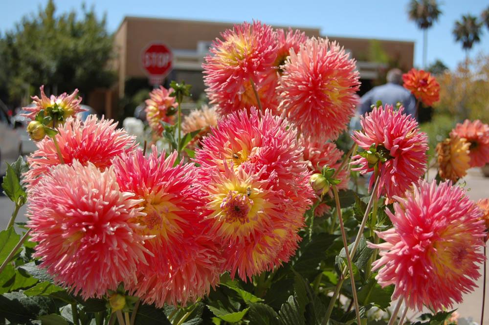 Stanford Shopping Center Dahlia Flowers