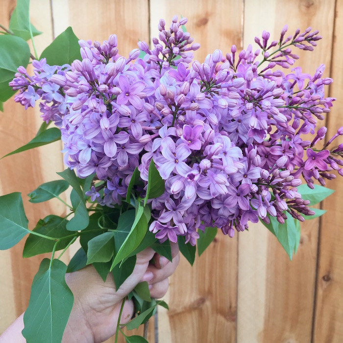 Last years lilacs
