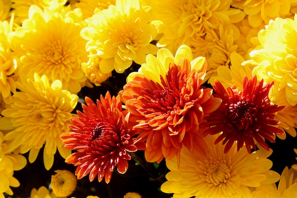 Thank You! - If you ordered mums to support RESET, you can pick up your flowers at the following times/dates:Saturday, September 21 from 9:00 a.m. to 4:00 p.m.Sunday, September 22 from 12:00 to 2:00 p.m.