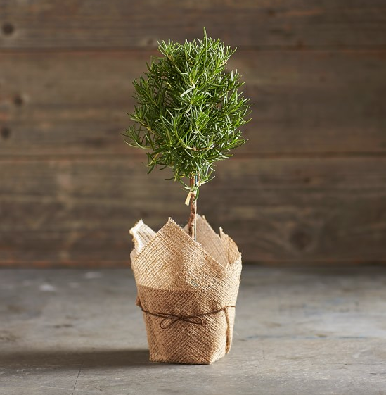Rosemary Topiary, Williams Sonoma, $27