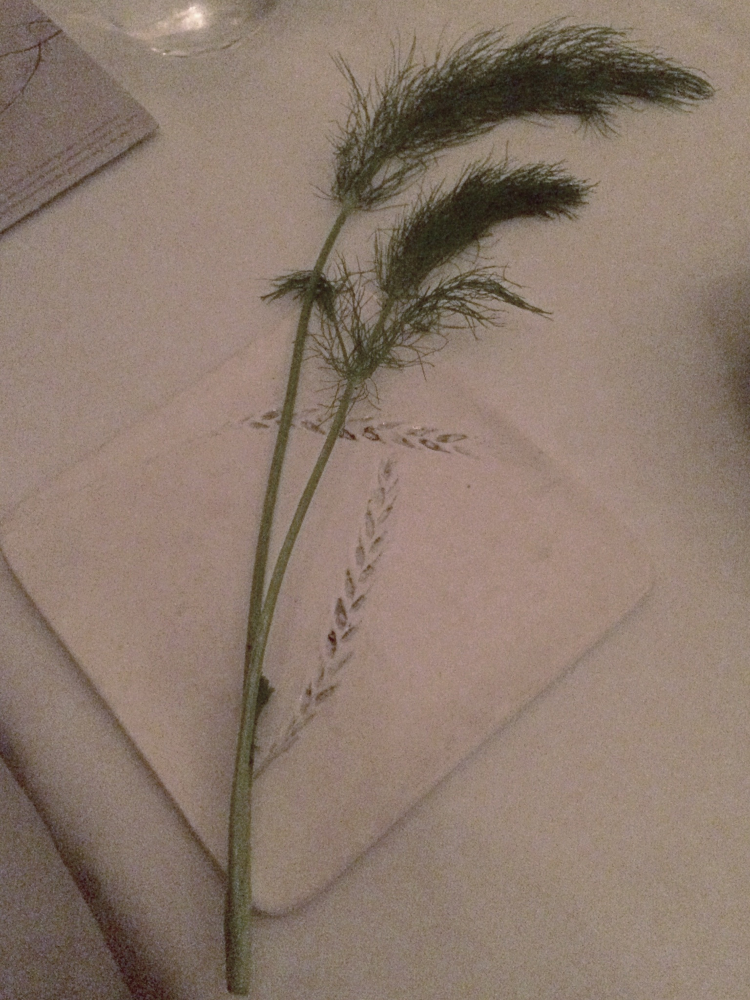 Orion fennel.