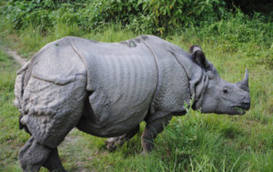 The interactive Rhino Review which includes all five living species in Africa and Asia, will be out later in the year. Image: Wikimedia Commons / Krish Dulal