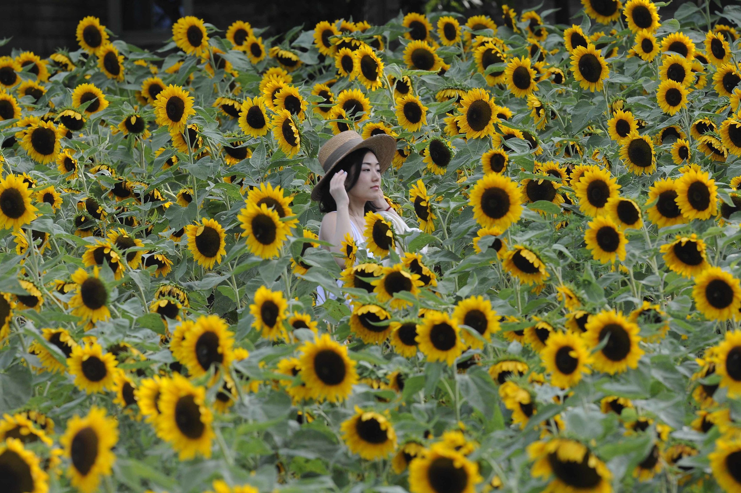 Mihoe among sun flowers in East Moriches, NY.