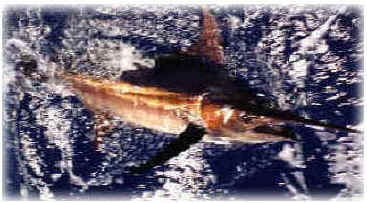 Hawaii Golden Marlin