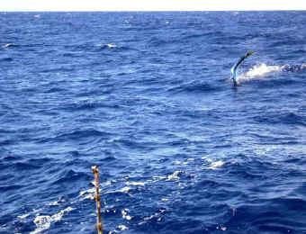 Hawaii marlin on
