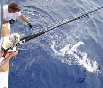 Marlin catch off Kona, Hawaii