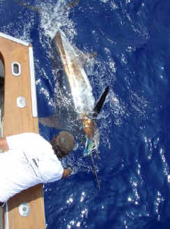 Marlin release off Kona, Hawaii