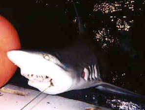 Shark fishing off Waikiki, Oahu, Hawaii